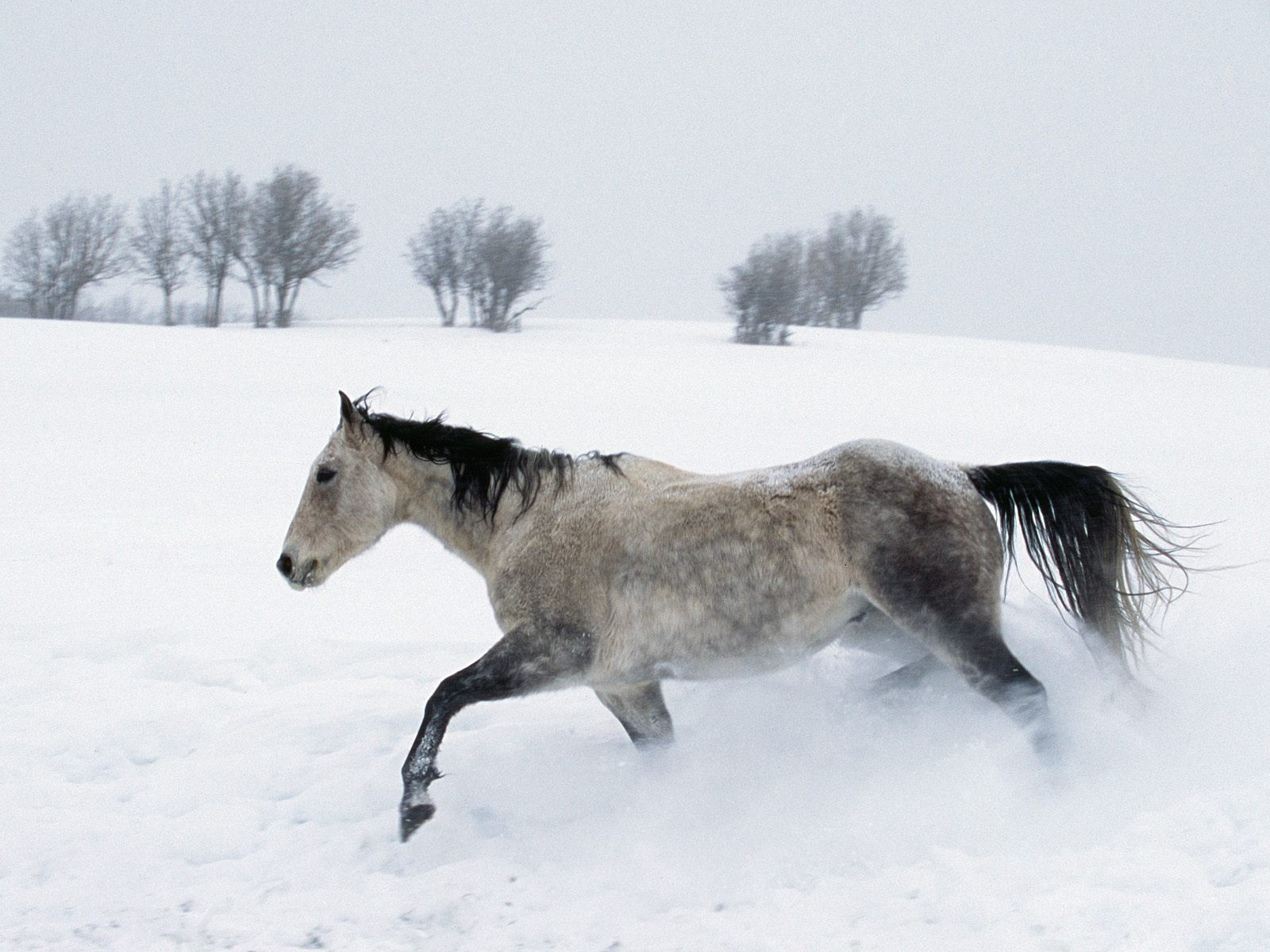 Popular Wallpaper Horse Winter - running-horse-on-winter-day  Pic_964926.jpg